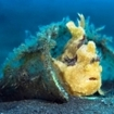 A warty frogfish waits in a bottle in Sulawesi