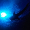 Silhouette of a whale shark in the Maldives