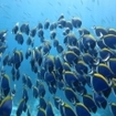 A school of powderblue surgeonfish, East of Eden