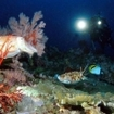 Cuttlefish at night in the Similans, Thailand