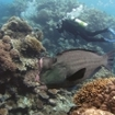 Dive with bumphead parrotfish on the Great Barrier Reef