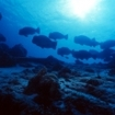 A school of bumpheads roam across the reef flats