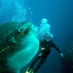 Experience swimming with sunfish in Lembongan, near Bali
