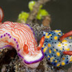 Colourful nudibranchs can be found on the reefs of Raja Ampat