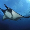 Scuba diving in Mexico with manta rays