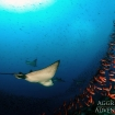 Eagle rays hunting fish