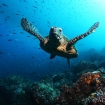Sea turtles are common throughout the islands