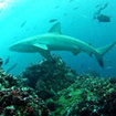 A Galapagos shark at the Galapagos Islands, Ecuador