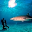 Diving with lemon sharks in the Bahamas