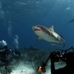 Diving with tiger sharks at Shark Beach, Bahamas