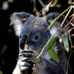 A koala bear, endemic to Australia