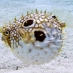 An agitated striped burrfish at Turneffe Island