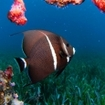 A French angelfish at Belize's Turneffe Atoll