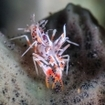 Tiger shrimp on a sponge in the Lembeh Strait