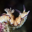A beautiful nudibranch poses for the camera in Burma