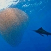 A sailfish attacks a baitball at Socorro Island, Mexico