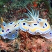 Nudibranchs can be found at Thailand's Hin Muang