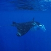 Manta rays can be seen at Kadavu, Southern Fiji