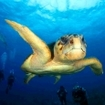 A loggerhead turtle atracts the attention of scuba divers at Turneffe in Belize