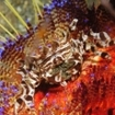 Zebra crabs can often be found on fire urchins in West Papua