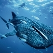 A whale shark passes by in Thailand