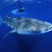 Swimming with whale sharks in Thailand