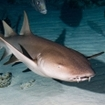 Diving in the Maldives with nurse sharks