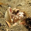 An octopus hides in a shell in Alor, Indonesia