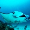 Swim with mantas during your dive trips in Raja Ampat, Indonesia