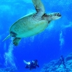 Scuba divers spot a turtle in Palau
