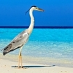 A grey heron in the Maldives