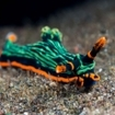 A colouful nudibranch in Bangka Island, Indonesia