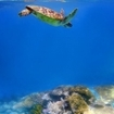 A turtle swims over the Cairns Great Barrier Reef