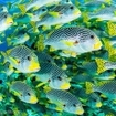 Schools of sweetlips at Holmes Reef in the Coral Sea