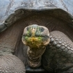 Giant Galapagos tortoise (Geochelone nigra) with its face covered in food