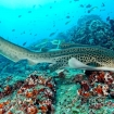 A leopard shark in Oman
