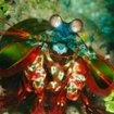 Mantis shrimp can be found at the island