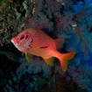 Giant squirrelfish at Egypt's Daedalus Reef
