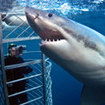Dive with great white sharks at Neptune Island