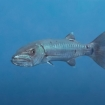 Great barracuda are home in these waters