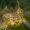 Close up of a burrfish