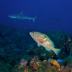 Grouper and grey reef shark