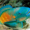 A sleeping parrotfish inside its cocoon, Phi Phi, Thailand