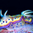Chromodoris nudibranch, at Kapalai, Malaysia