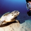 A hawksbill inspects a scuba diver at the Great Barrier Reef, Australia