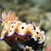 A spectacular nudibranch at the island of Kadavu, Fiji