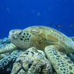 A turtle lazing on the corals in Sabah