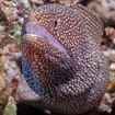 A spotted white mouthed moray eel in Australia's Coral Sea