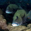 Harlequin sweetlips  (Plectorhinchus chaetodonoides) - GPS Point