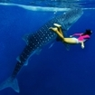 A snorkeller with a whale shark, Ari Atoll, central Maldives